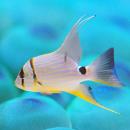Рыба летяга