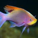 Рыбка-жонглер