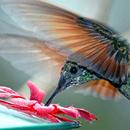 Подвижная колибри