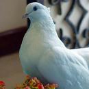 Небесная голубка