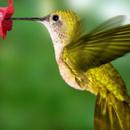 Любопытная колибри