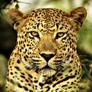 Леопард-рукодельник