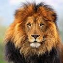 Своенравный лев