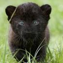 Пантерёнок-перфекционист